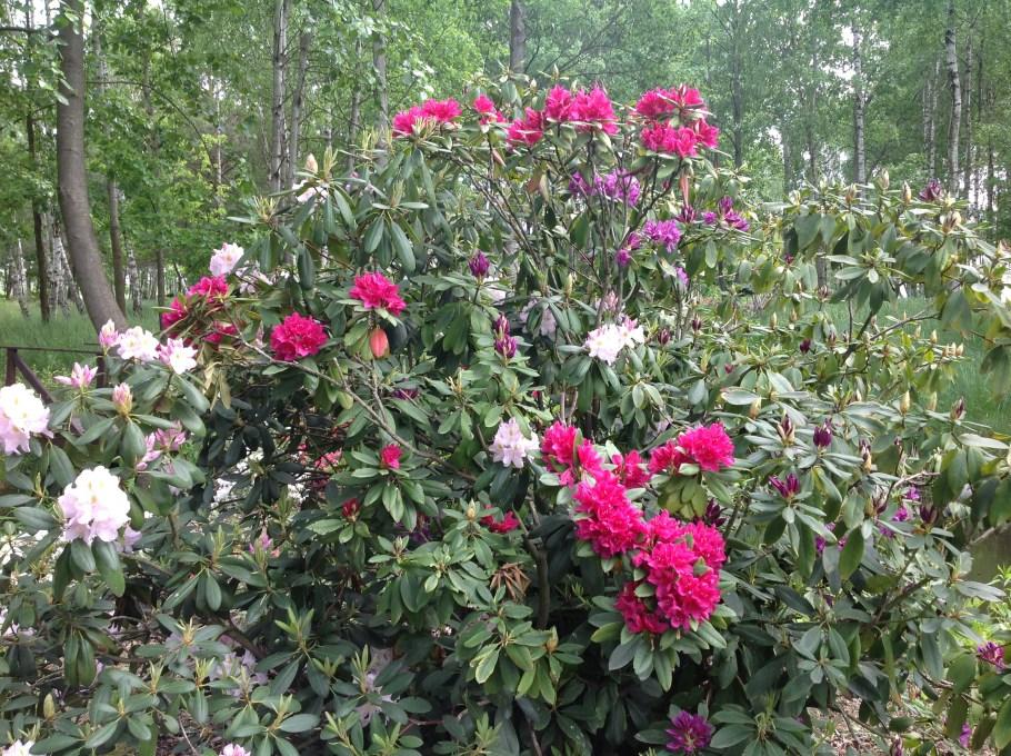 img_2269 Rododenrony i azalie - co robić, aby pięknie kwitły