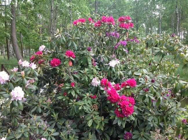 img_2269 Rhododenrony iAzalie - co robić bypięknie kwitły.