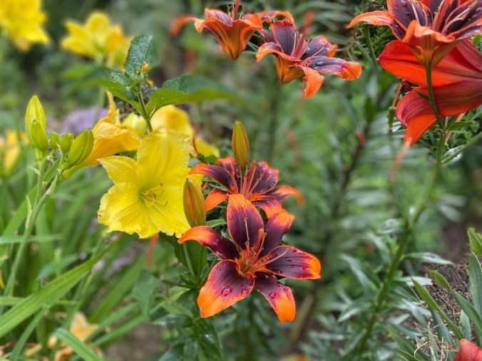lilie-ranczo-1024x768 Rozmnażanie lilii