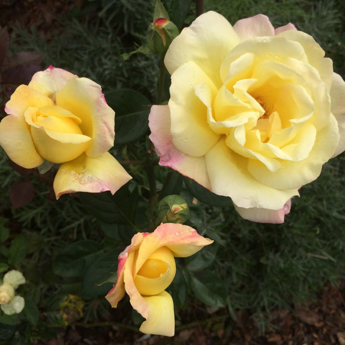 Jak dbać o róże, żeby kwitły?