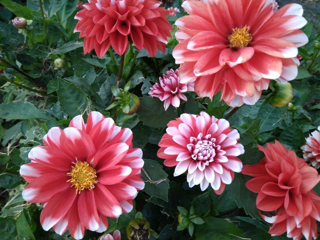 dalie Te kwiaty kwitną jesienią