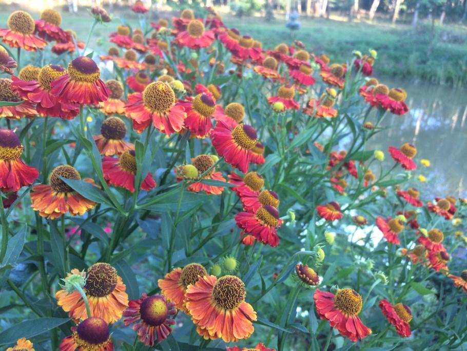 dzielc5bcan Te kwiaty kwitną jesienią