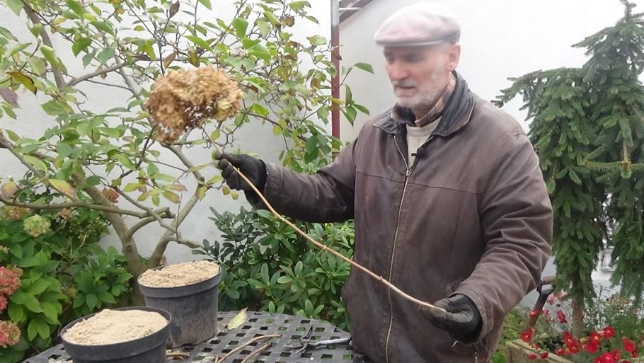 dsc00212 Rozmnażanie hortensji bukietowej i drzewiastej