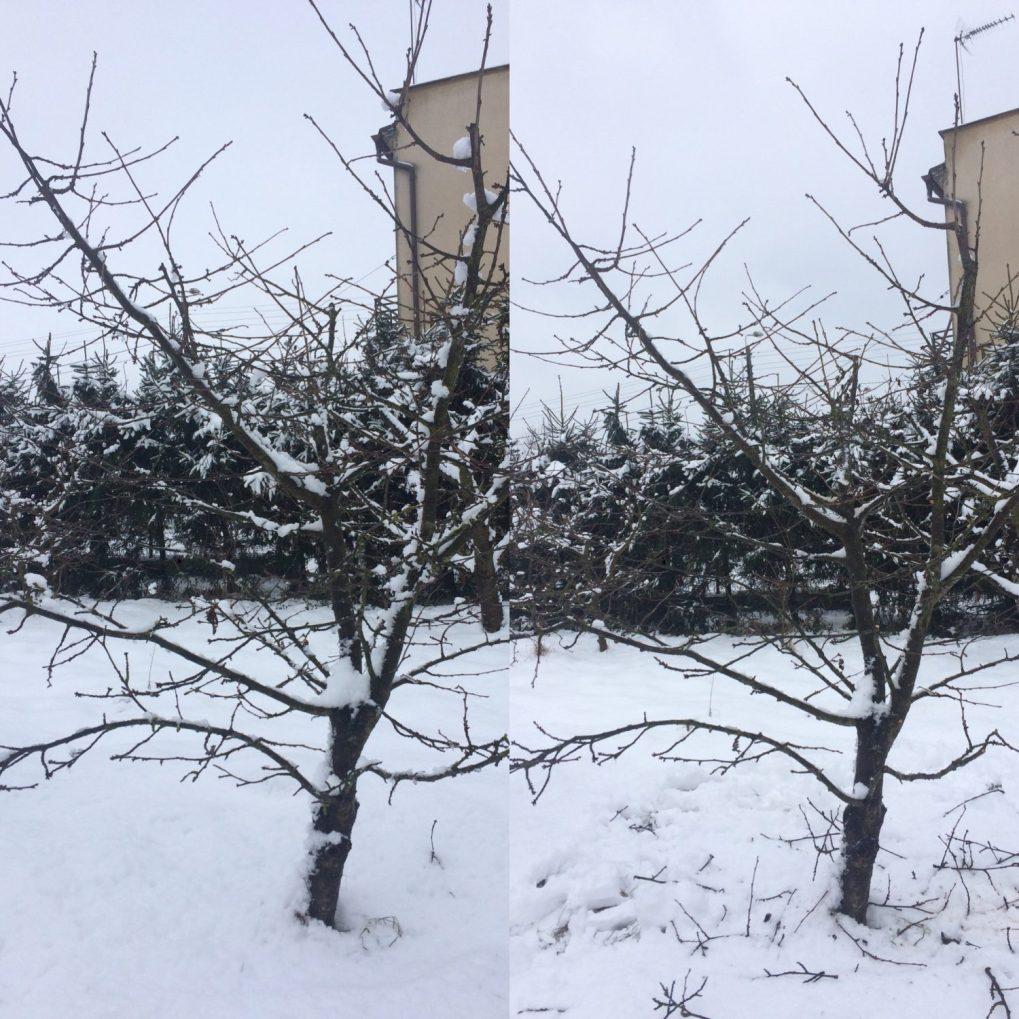 3e2e102a-02a3-470a-92d8-aae00f69a644 Cięcie drzew owocowych. Kiedy ijak torobić?