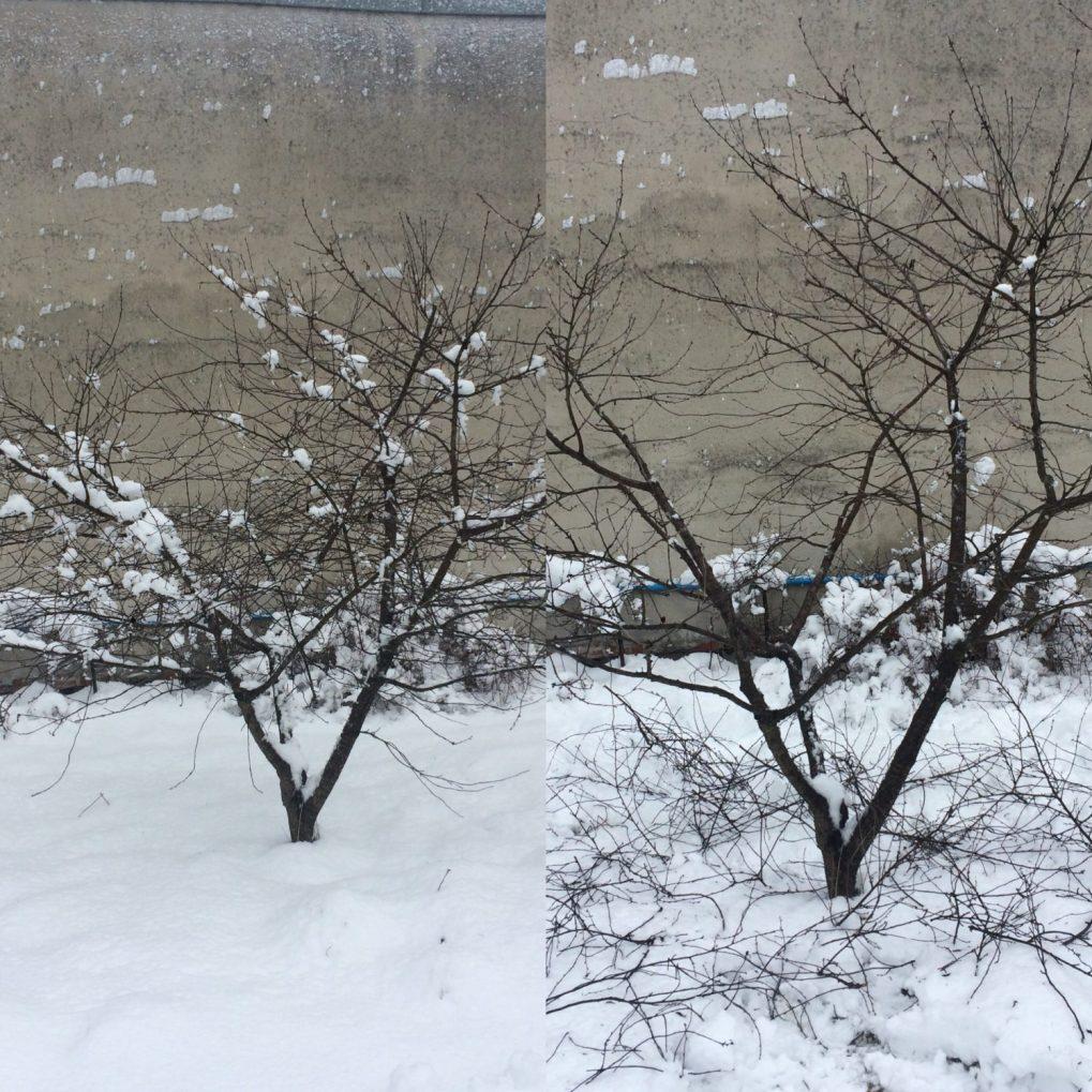 adb4a873-6488-4a04-b329-c81864e25801 Cięcie drzew owocowych. Kiedy ijak torobić?