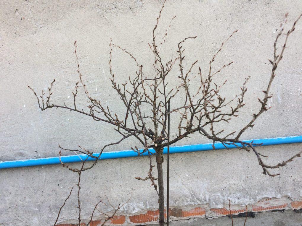 img_0404 Cięcie drzew owocowych