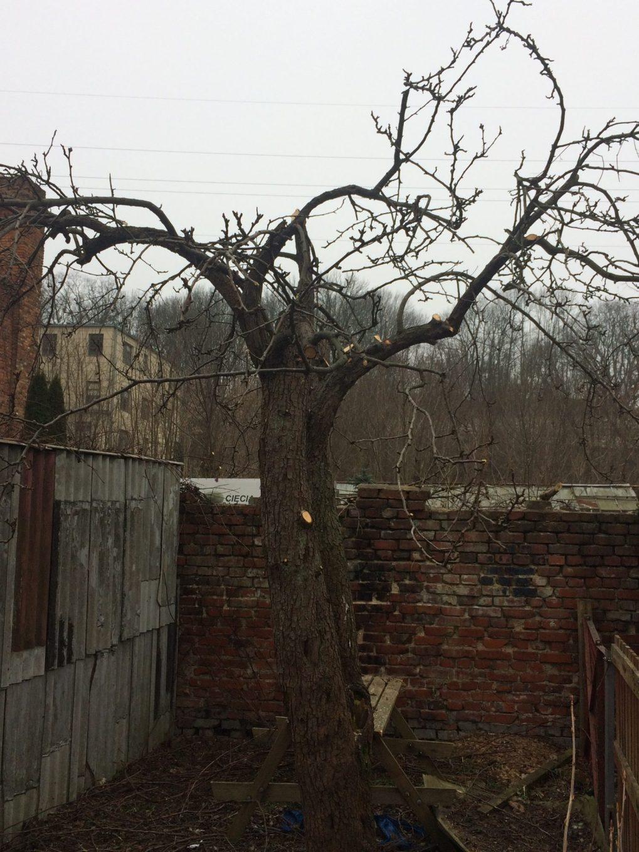 img_0421 Cięcie drzew owocowych. Kiedy ijak torobić?