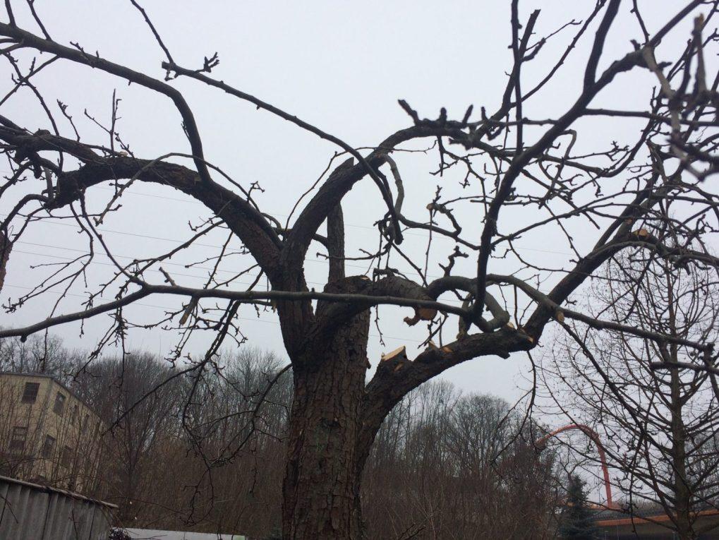 img_0422 Cięcie drzew owocowych. Kiedy ijak torobić?