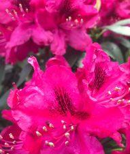 img_0984-49234132-1549634405342 Czy obrywamy kwiaty azalii i różanecznika?