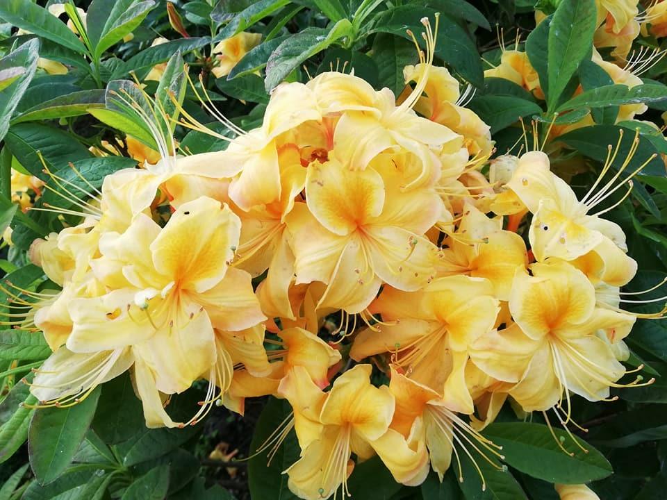 img_1083 Czyobrywamy kwiaty azalii iróżanecznika?