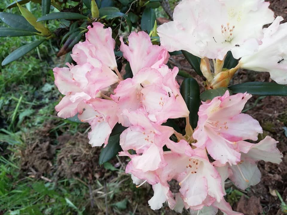 rc3b3c5bcanecznik-zielone-pogotowie Czyobrywamy kwiaty azalii iróżanecznika?