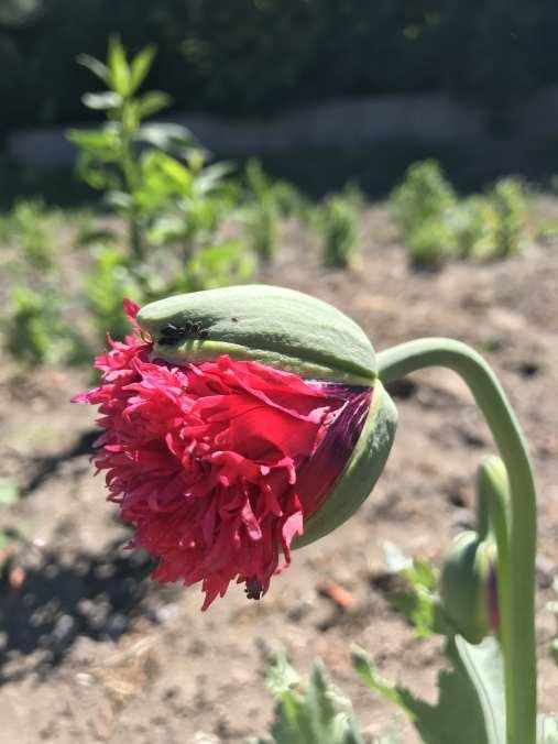 img_1384 Jak pozyskać nasiona kwiatów?