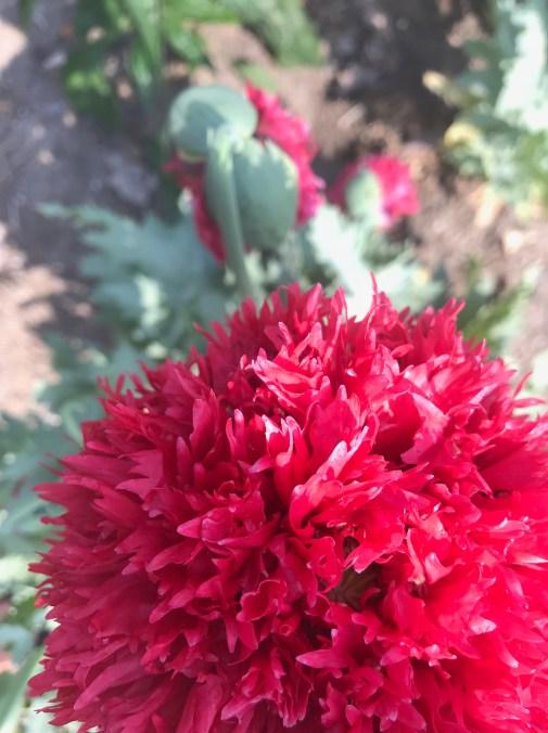 img_1557 Jak pozyskać nasiona kwiatów?