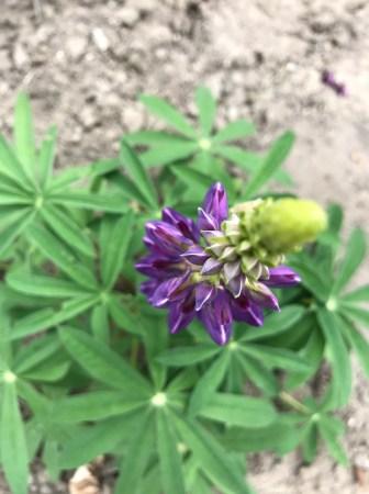 img_1718 Jak pozyskać nasiona kwiatów?