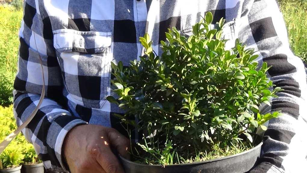 DSC02818 Te rośliny nadają się na żywopłoty