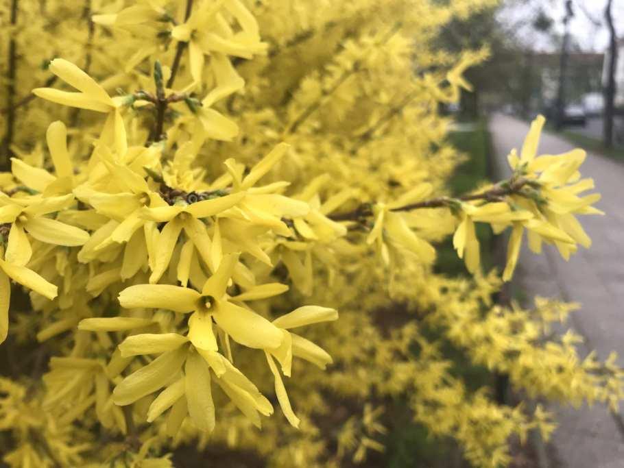 IMG_0158 Te rośliny nadają się nażywopłoty
