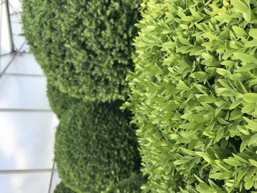 IMG_1139 Te rośliny nadają się na żywopłoty