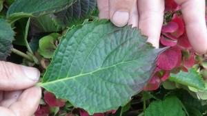 DSC02911-300x169 Jakie gatunki hortensji masz w ogrodzie