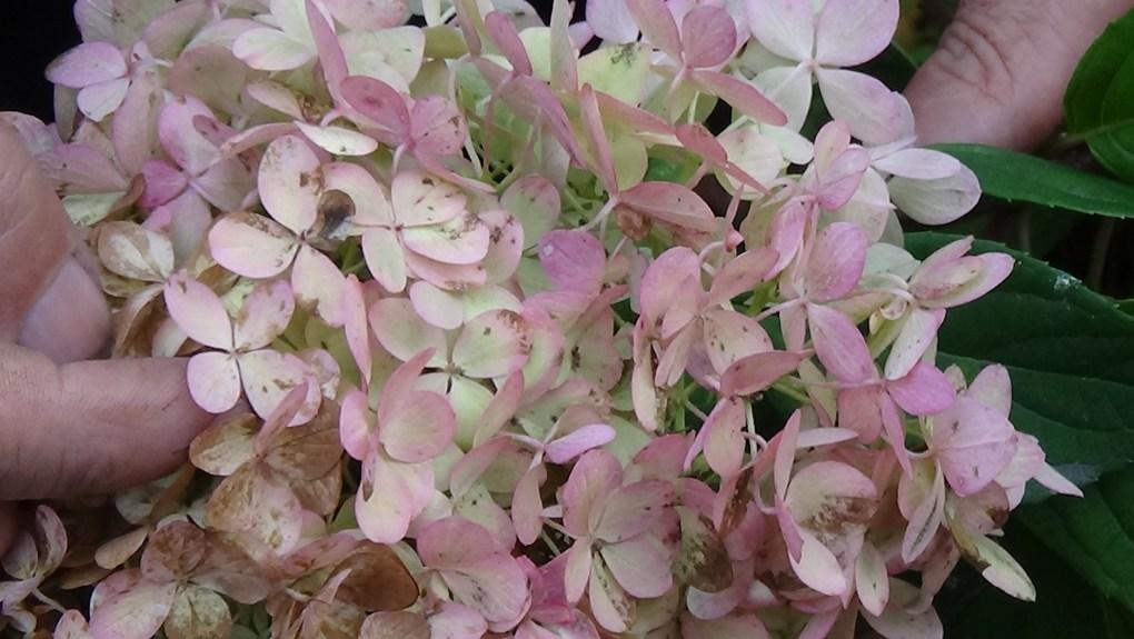 DSC02914-1024x577 Jakie gatunki hortensji masz w ogrodzie