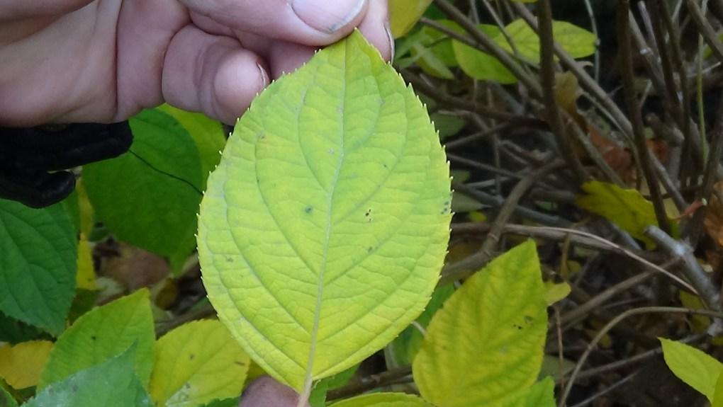 DSC02917-1024x577 Jakie gatunki hortensji masz w ogrodzie