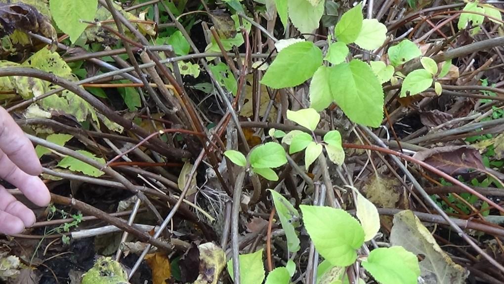 DSC02932-1024x577 Jakie gatunki hortensji masz w ogrodzie