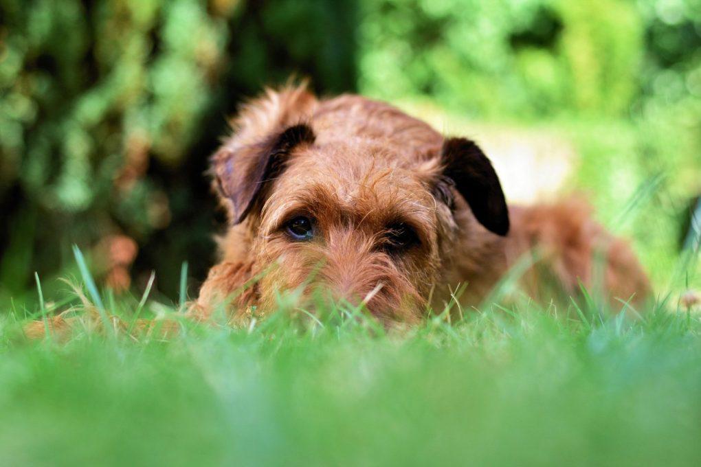 dog-3580047_1920-1024x683 Jak stworzyć gęsty trawnik?