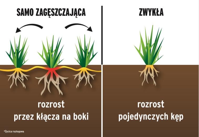 samo-zageszczajaca-porownanie Jak stworzyć gęsty trawnik?