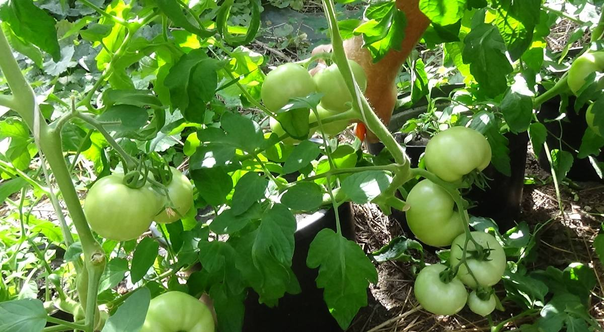 Sadzimy Pomidory W Szklarni Zielone Pogotowie Blog