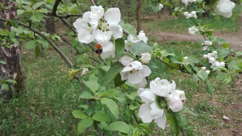 Aby jabłoń nie chorowała, trzeba zapobiegać chorobom drzew
