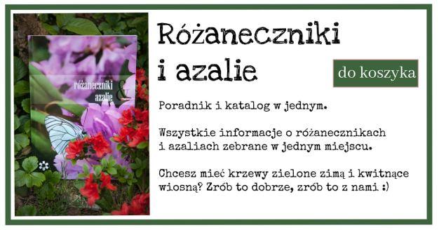 raneczniki-1024x538 Rododendrony - najważniejsze zasady pielęgnacji. Zielone Porady 17