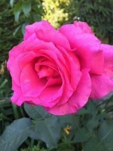 ro%C5%BCa-3285468982-1558354760549-225x300 Jak sadzić róże? Zielone Pogotowie radzi