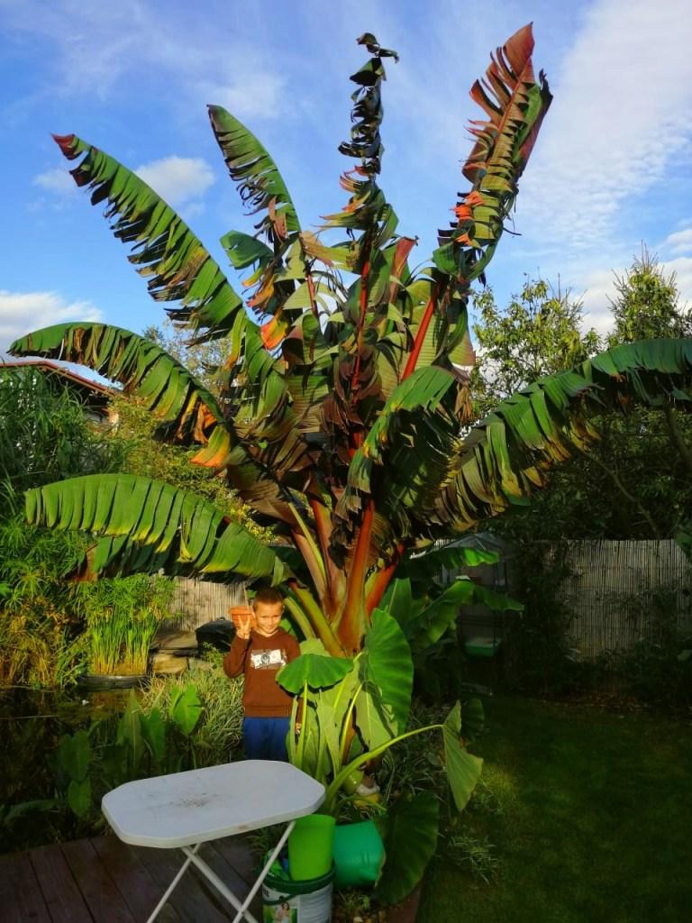 bananowiec-768x1024 Czy w Polsce da się uprawiać rośliny egzotyczne?