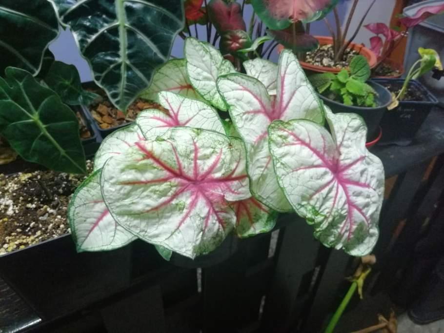 caladium-fiesta-1024x768 Czy w Polsce da się uprawiać rośliny egzotyczne?