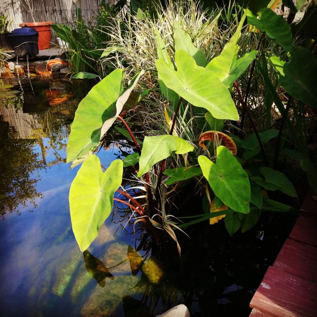 kolokazja-w-oczku-wodnym-1024x1024 CzywPolsce da się uprawiać rośliny egzotyczne?