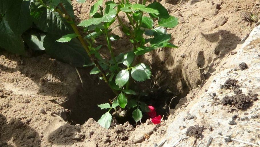 jak-prawid%C5%82owo-sadzi%C4%87-r%C3%B3%C5%BCe-1024x577 Jak chronić róże przed mrozem?