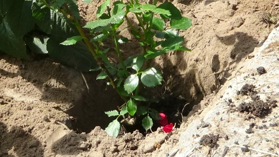 jak-prawidłowo-sadzić-róże-1024x577 Jak chronić róże przed mrozem?