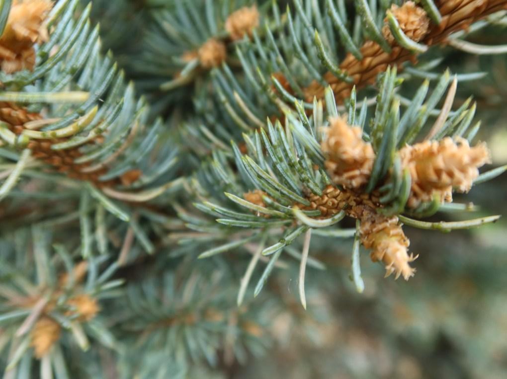 mszyca-swierk-1024x766 Świerk gubi igły wiosną? Tomoże być mszyca
