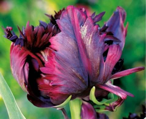 102118-1 Kiedy sadzić cebule kwiatowe?