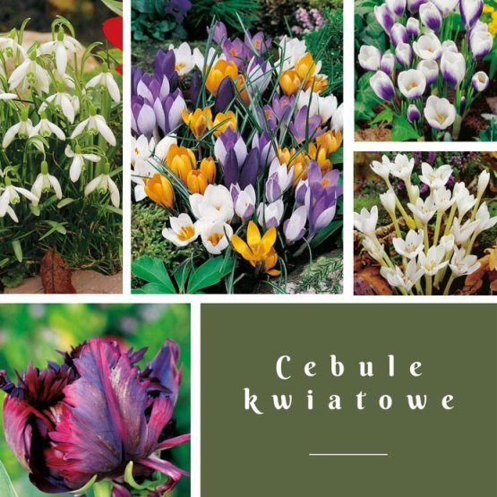 cebule-kwiatowe Rozsadź swoje kwiaty cebulowe