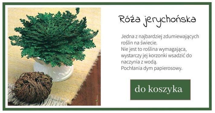 roza-jerychonska-1024x538 Róża jerychońska (nie) potrzebuje wody