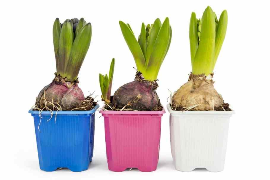 Hiacynt-w-doniczce-scaled Cebule kwiatowe