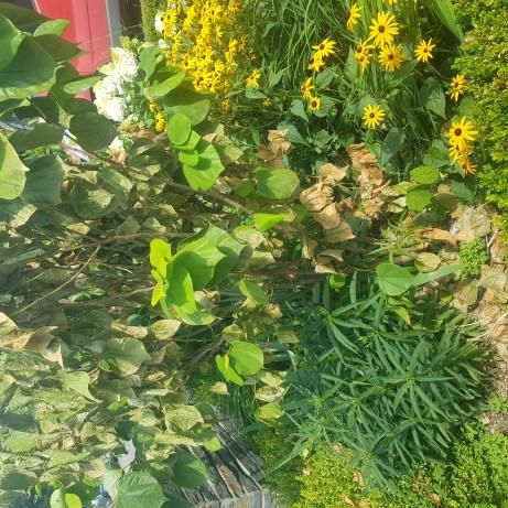 judaszowiec-zalany-1024x1024 Gdy rośliny nagle więdną i usychają