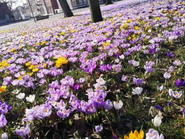 krokusy-2 10 kwiatów cebulowych, które zakwitną najszybciej
