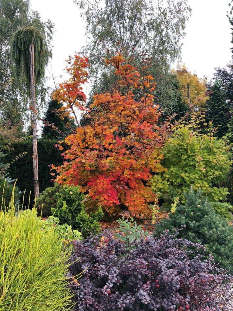 klon-palmowy-3-768x1024 Kolorowy ogród jesienią