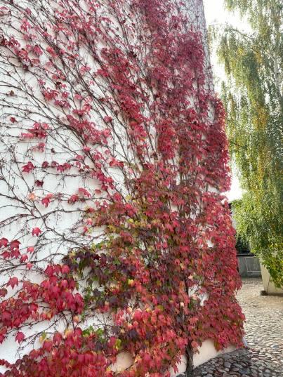 winobluszcz-768x1024 Kolorowy ogród jesienią