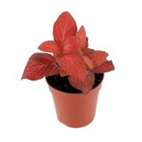 Fitonia czerwona (Fittonia verschaffeltii)