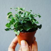 paproć ciemnotka okrągłolistna (Pellaea rotundifolia)