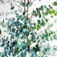 Eukaliptus XL Gunni (Eucalyptus urnigera)