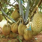 Mendapatkan benih durian monthong