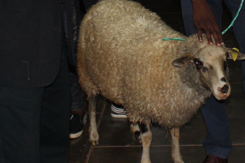 a sheep is depicted